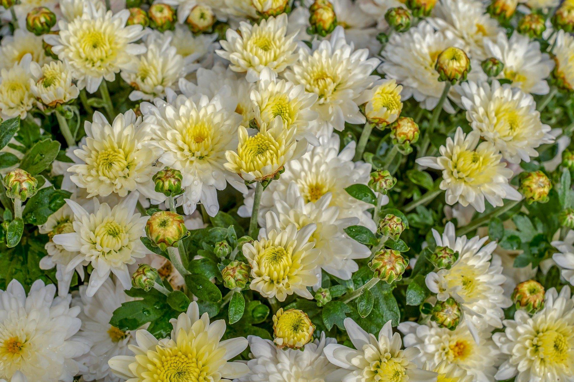菊花で他人からの悪影響を浄化する