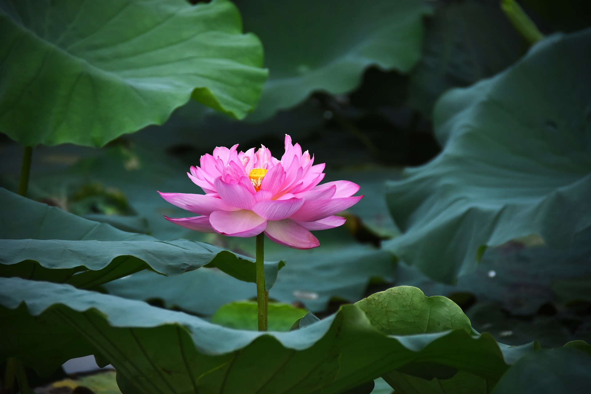 ピンクの蓮の花を眺めて第3チャクラを整える